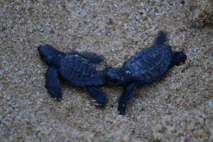 baby turtles hatch and waddle to sea, as seabirds circle above. Cabo San Lucas, Mexico, 2014